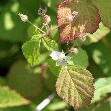 2015-07-13 Rubus caesius 4858