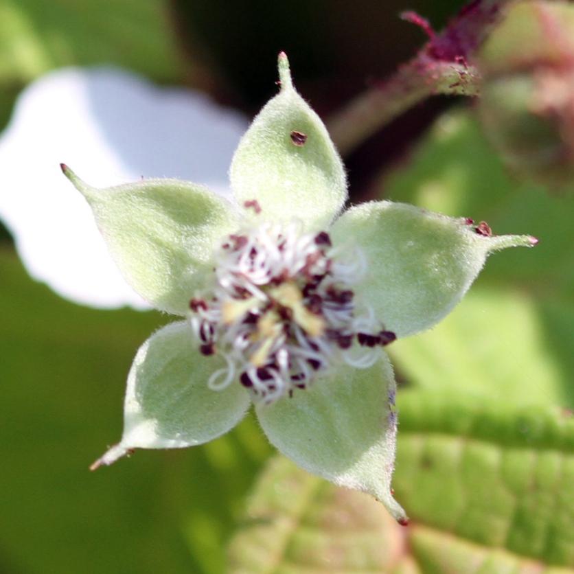 2015-07-13 Rubus caesius 4862