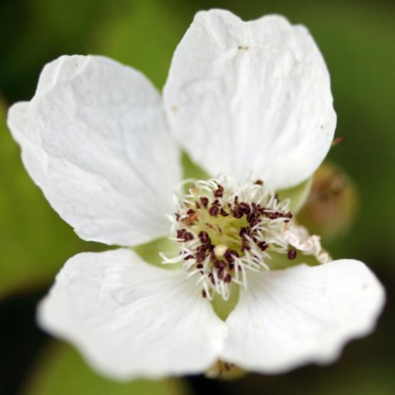 2015-07-13 Rubus caesius 4871
