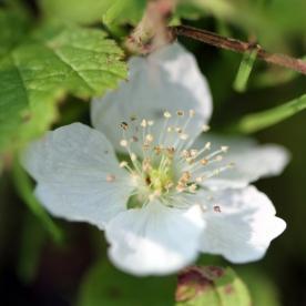 2015-07-13 Rubus caesius 4877