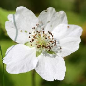 2015-07-13 Rubus caesius 4884