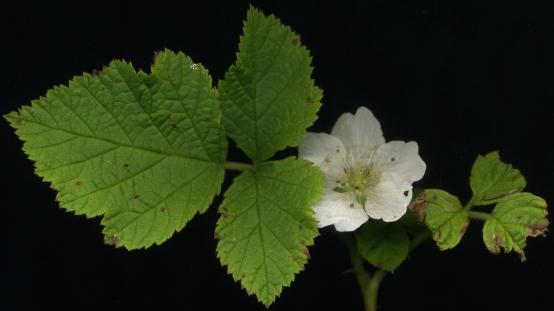 2015-07-13 Rubus caesius S004-1-lo