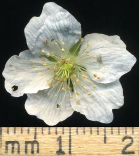 2015-07-13 Rubus caesius S005-2