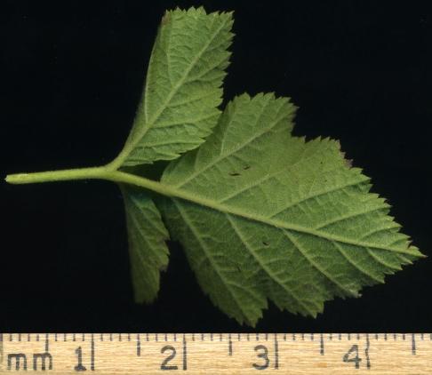 2015-07-13 Rubus caesius S007-3-lo