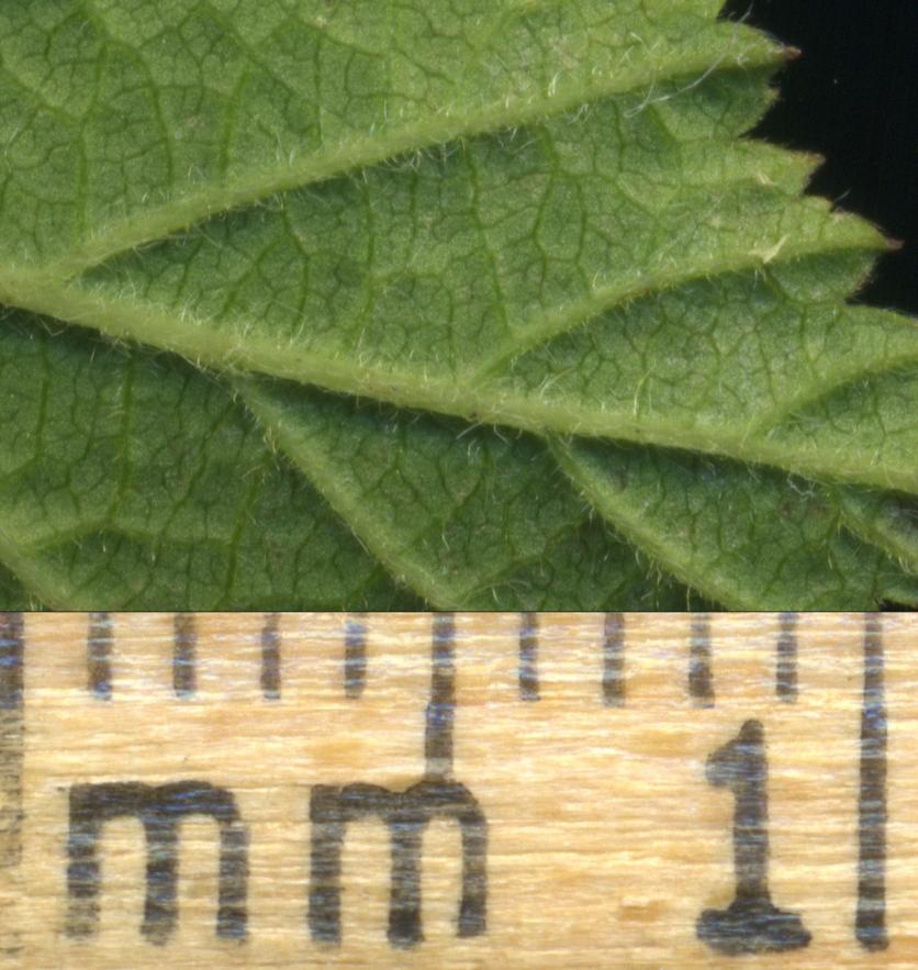 2015-07-13 Rubus caesius S007-4