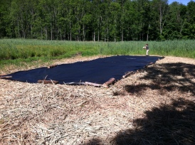 "June 30, 2016. ESF intern Tyler placing logs on edges of black poly tarp on mowed Phragmites. The two 20x30-ft. black-poly tarps were taped together using ""tarp tape."" But within a few hours of laying them out in the bright sun and securing the edges using logs, the adhesive on the tape softened and the tarps separated from each other by a couple of feet. These are 6.0 ounce black poly tarps, waterproof, mildew proof, tear and acid resistant. They have an 11-12 mil thick, 14x14 weave count."